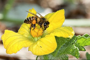 perennials for pollinator habitat